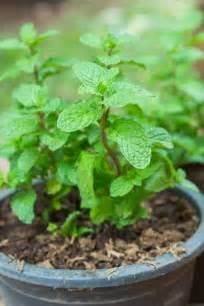 7 plantes m 233 dicinales 224 cultiver chez soi