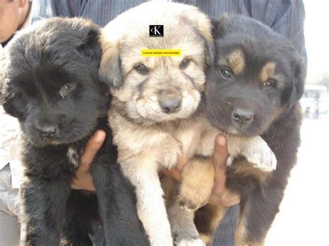 tibetan mastiff puppy price tibetan mastiff puppies for sale classickennel 1 431 dogs for sale price of