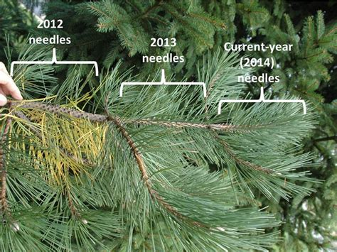 Do Pine Trees Shed Their Needles by Plants For Winter Interest Going For The Gold The