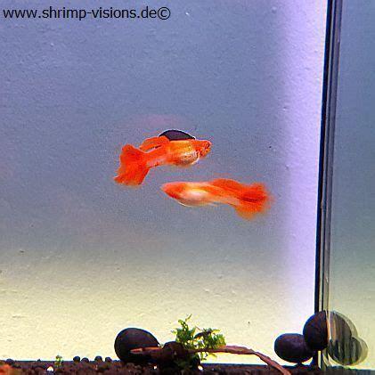 Guppy Koi Per 3 Pasang koi guppy reinerbig poecilia reticulata dnz fische kaufen