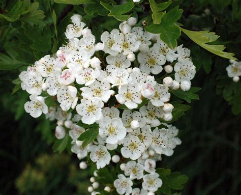 Haz T Blosom hawthorn in flower everyday nature trails