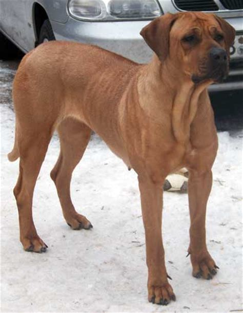 ridgeback rottweiler rhodesian ridgeback lab mix for sale breeds picture