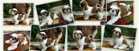 shih tzu puppies for sale in winston salem nc free shih tzu puppies for sale in nc