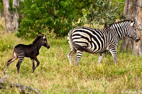 black zebra a black baby zebra africa geographic