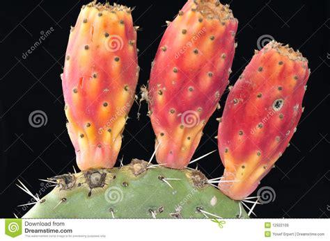 image prickly pear cactus fruit download ripe prickly pear cactus fruit royalty free stock images