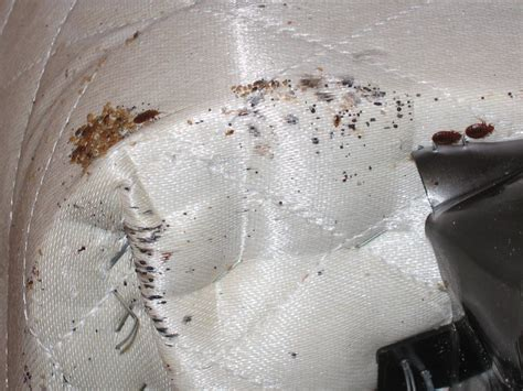 bed bugs on mattress pics bed bugs chicago 855 855 bugs bed bug removal and