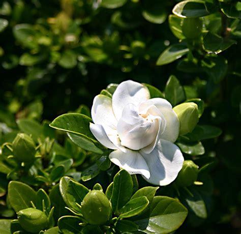 gardenia delivery buy gardenia gardenia crown pbr delivery by waitrose garden in association with crocus