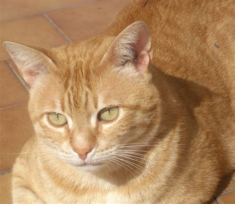 tabby cat wikipedia file orange tabby tony jpg wikipedia