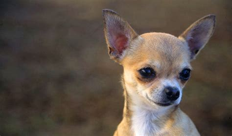 chi for dogs chihuahua breed information