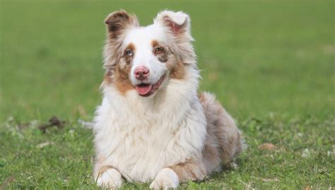 top 10 foods for puppies best food for miniature american shepherd 10 vet brands