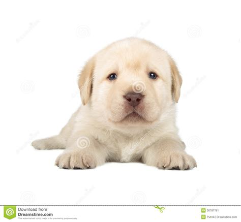 amarillo puppies perrito amarillo labrador retriever imagen de archivo
