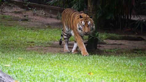 what s your name tigris panthera tigris definition meaning