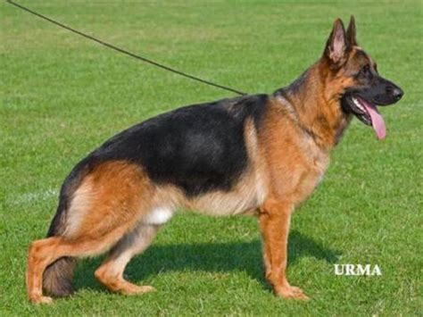 german shepherd puppies price german shepherd alsatian price in indiagerman shepherd breeds picture