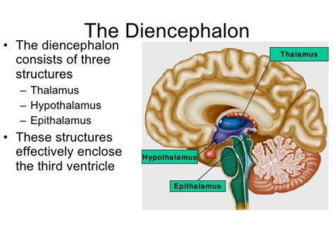 diagram of diencephalon ap biology study guide 2015 16 hornbeck instructor