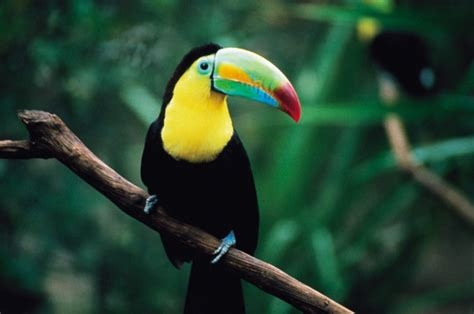 Toucan L by Quotes By Urbain Dubois Like Success