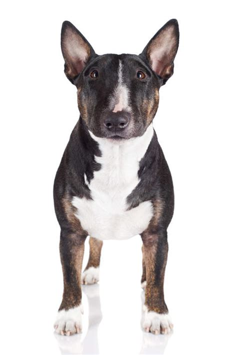miniature bullterrier puppies breed information puppies miniature bull terrier dogs breed information omlet