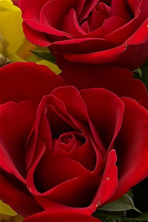 wallpaper for iphone roses iphone red rose wallpaper