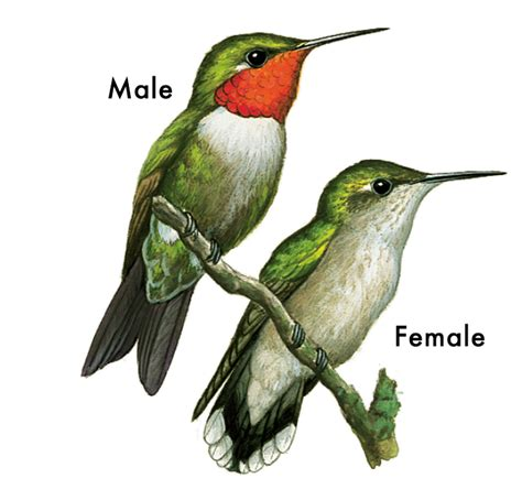 bird profile ruby throated hummingbird bloom