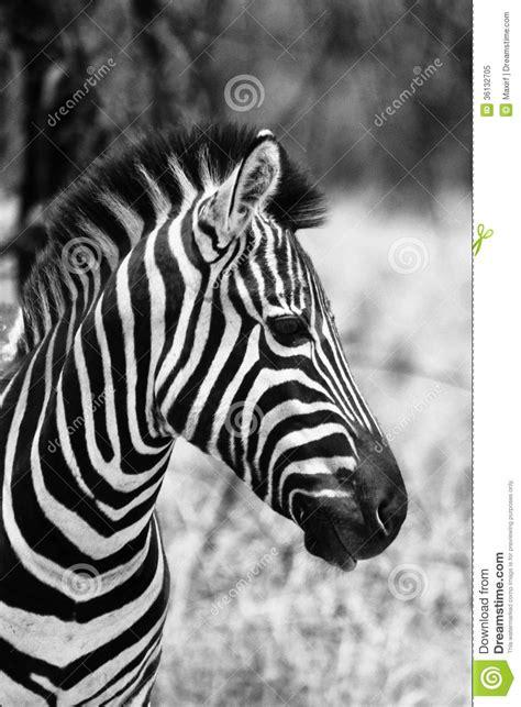 imagenes para perfil blanco y negro imagen lateral principal del perfil de la cebra blanco y