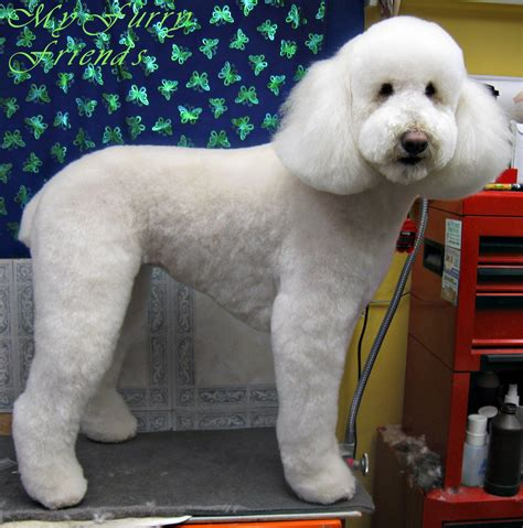 poodle haircuts grooming your furry friend does a poodle have to be