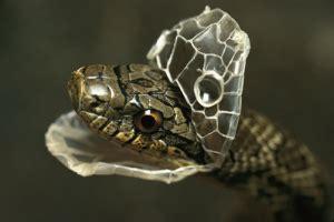 Shedding Skins by Dangerous Snakes Snake Shedding Skin