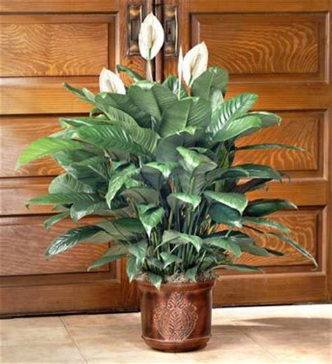 common house plants for funerals funeral flowers sprays wreaths baskets delivery today