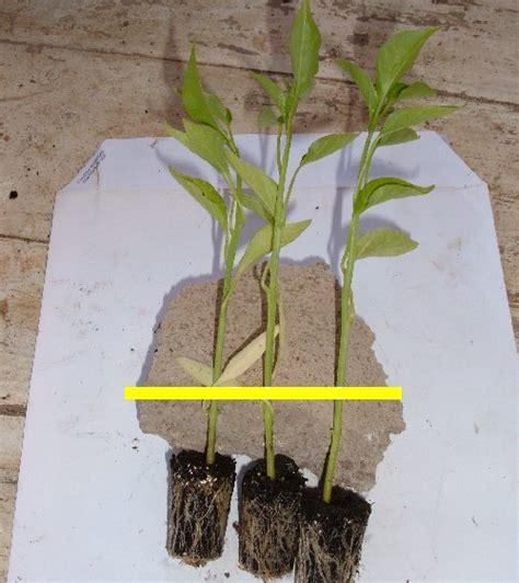 come coltivare i peperoni in vaso coltivare i peperoni friggitelli in vaso l orto sul balcone
