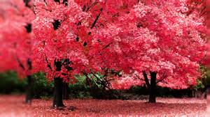 autumn tree pink color hd desktop wallpaper background