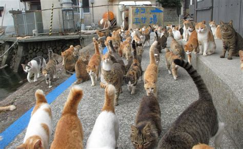 cat island caretaker of japan s cat island is overwhelmed with