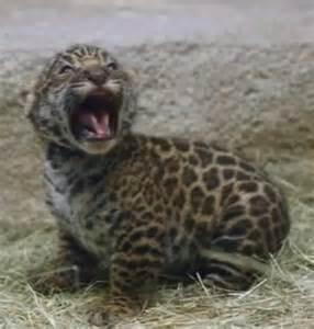 Jaguar Of San Diego Jaguar Cub Roars As It Makes Debut At San Diego Zoo