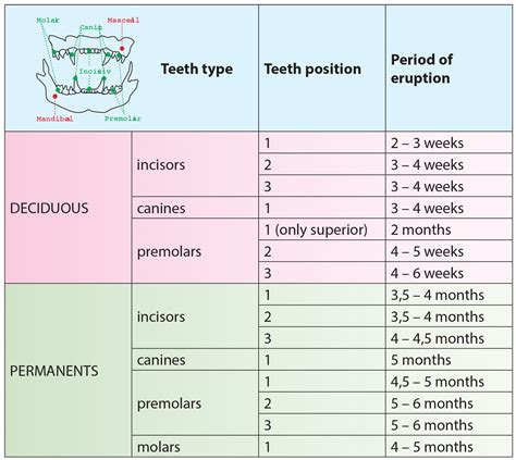 puppy teeth diagram image gallery kitten teeth age chart