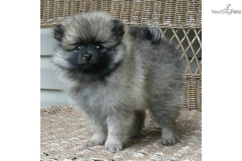 wolf pomeranian for sale the gallery for gt wolf pomeranian puppies for sale