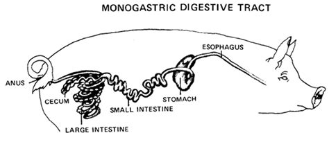 Pig digestive system diagram dyrevelferdfo pig digestive system diagram digestive system of a pig ccuart Image collections