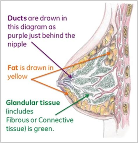 diagram of milk ducts in breast breast cancer resources ge healthcare breast density