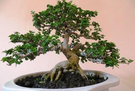 sekilas tetang tanaman bonsai infotentangbonsai