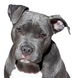 american pitbull terrier colors free illustration pitbull terrier free image on