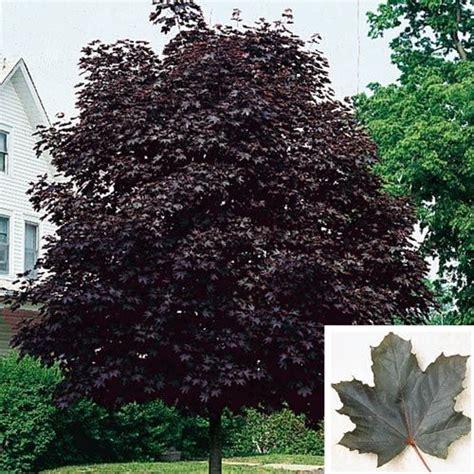 crimson king maple tree gardening landscaping gardens and plants