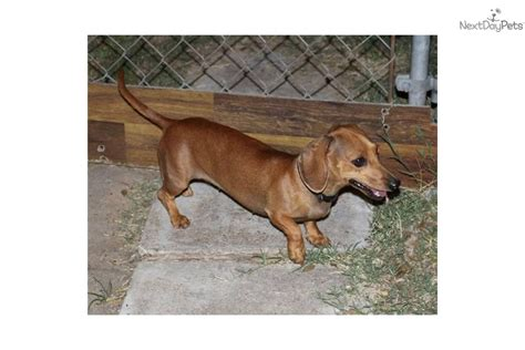 free dachshund puppies near me dachshund mini puppy for adoption near 697b54ed 16c2
