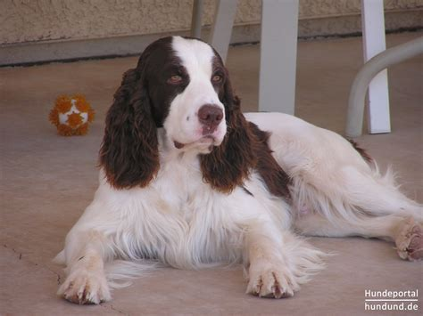 imagenes de english springer spaniel english springer spaniel foto 36113 hundund de