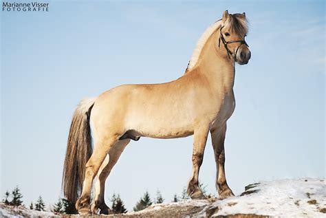fjord paard profielfoto van fjord paarden google zoeken equestrian