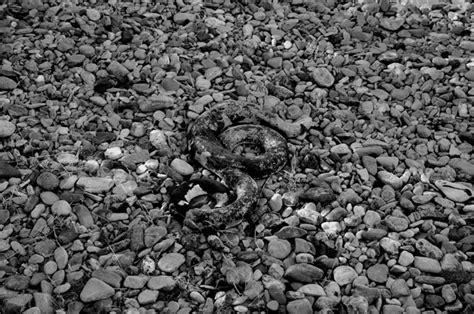 kreuzritterorden heute ein schuppenkriechtier am yılanı kule journal