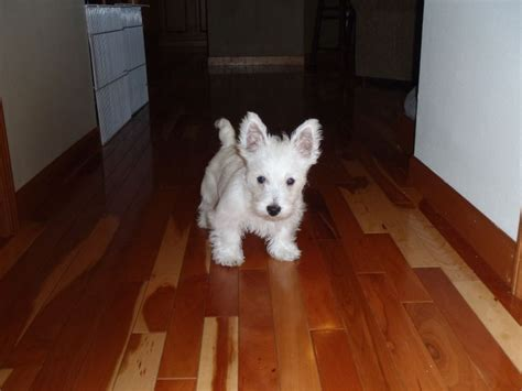 puppies with big ears puppy big ears westies and some other dogs