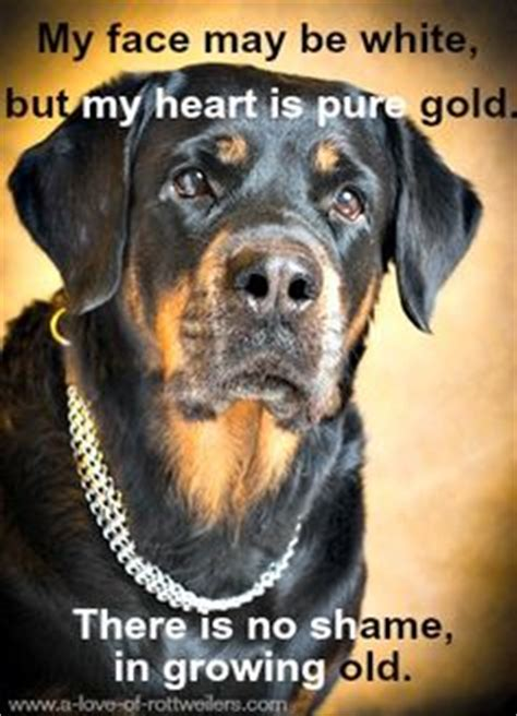 senior rottweiler 1000 images about rottweiler quotes inspiration on a meme rottweiler