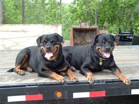rottweiler dogs 101 furyan ca interested in a rottweiler