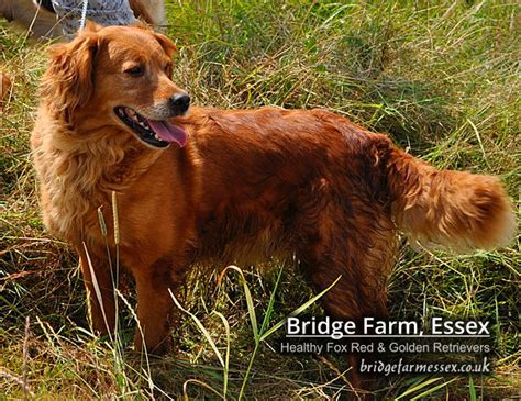 goodtime golden retrievers bridge farm essex a healthy golden retriever