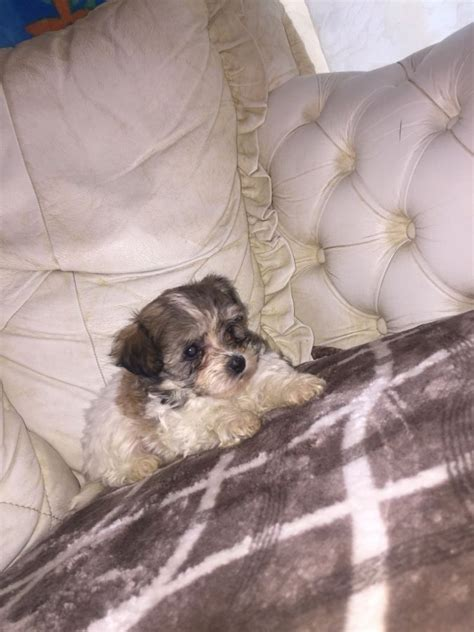 shih tzu maltese for sale shih tzu x maltese puppies for sale offer