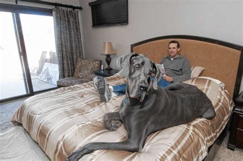 the biggest bed meet george the world s largest dog ny daily news
