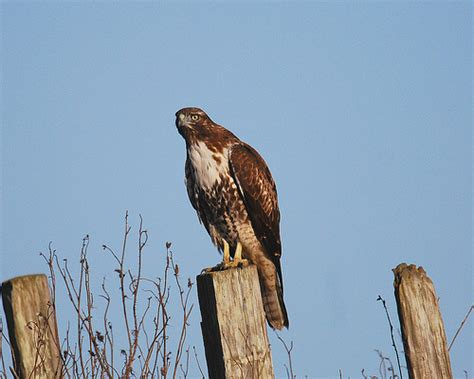 red tailed hawk in northern california flickr photo