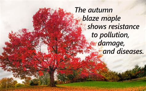 autumn blaze maple growth rate