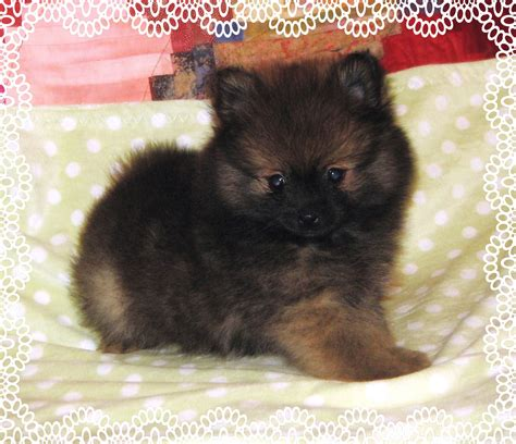 pom cross pug pug and pomeranian cross breed puppies hove east sussex chainimage